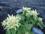 オノエイタドリの花が咲いています